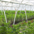 Cannabis Commercial Farm